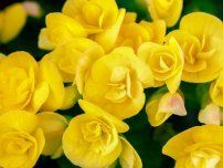 Patrick Foto: Closeup yellow begonia flowers