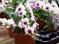 Irina Opachevsky: beautiful tropical flower orchid Dendrobium in pot