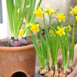 : hands holding a pot of narcissus for potting