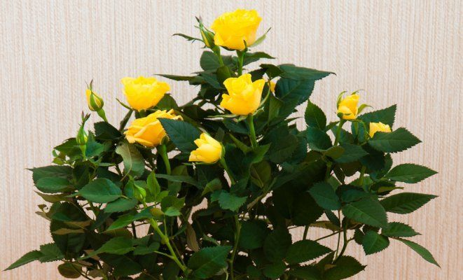 olenka-2008 : Room flower - yellow rose